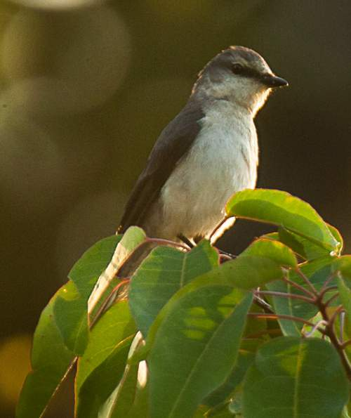 Birds of India - Photo of Ashy minivet - Pericrocotus divaricatus