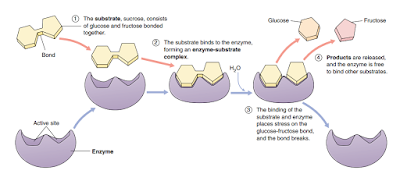 reaksi enzimatis pada katabolisme sukrosa