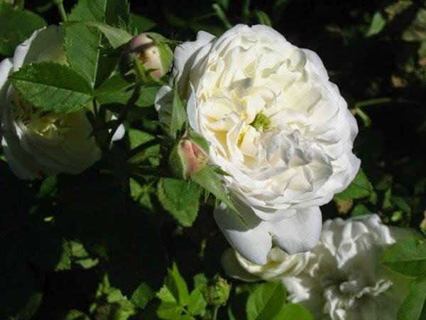 rosal rambler