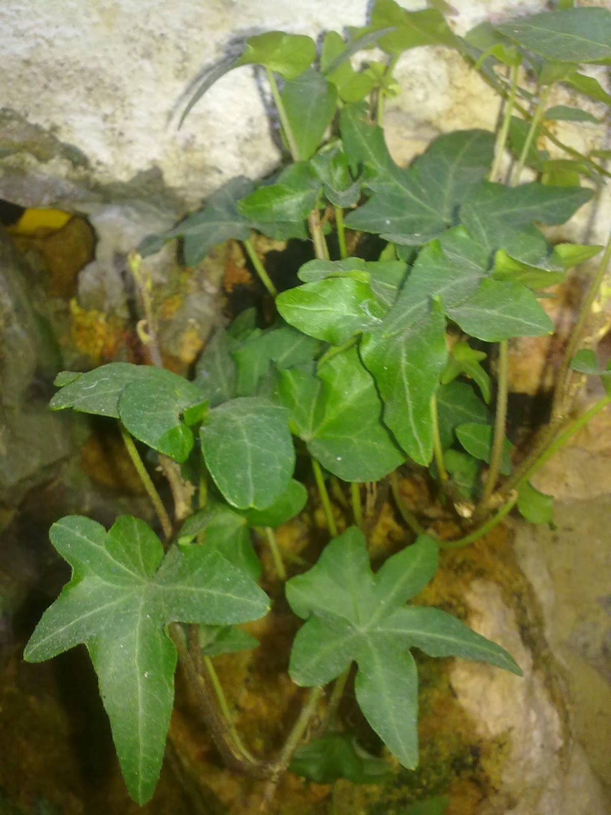 Plantas para dentro de casas - Enredaderas de interior ...