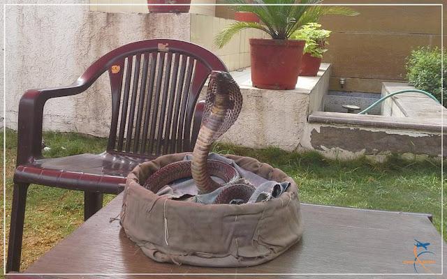 Serpente naja