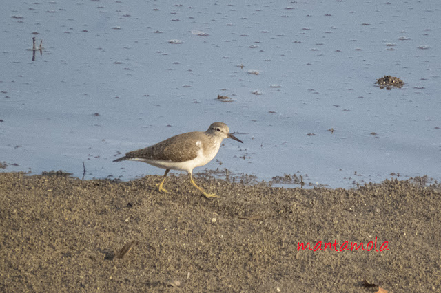 Common Sand Piper