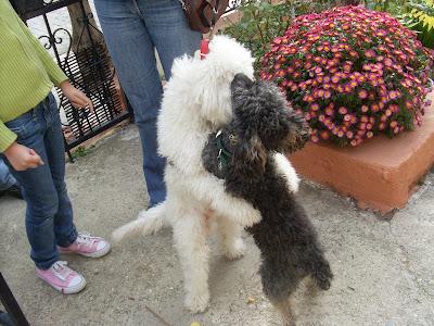 Δύο σκυλάκια σγουρομάλλικα αγκαλιασμένα δείχνουν να απο λαμβάνουν το παιχνίδι τυος σε μια ανθισμένη αυλη και απο ΄το φαινεται κάποιοι τα παρακολουθούν χαλαρά