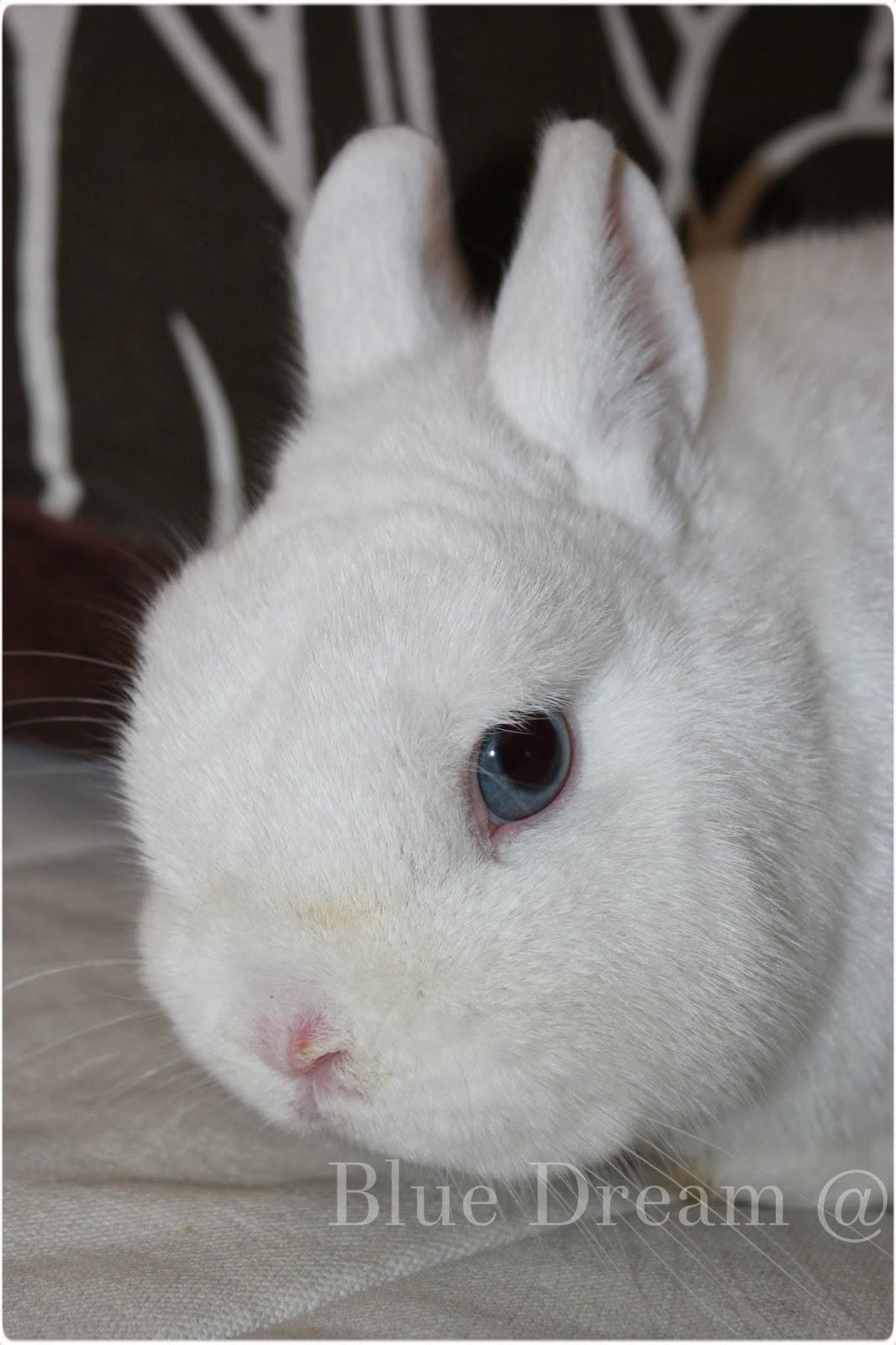 lapin polonais yeux bleus