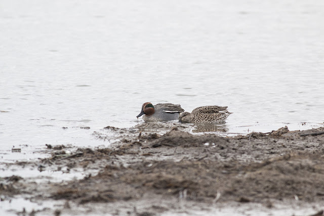 Eurasian Teal feeding in the mud.
