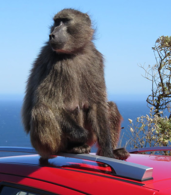 Baboon, Cape of Good Hope