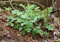 liście glistnika