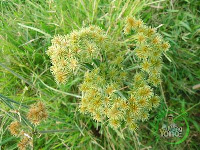 Jekeng (Cyperus iria)