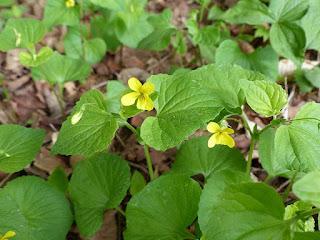 Violette pubescente - Viola pubescens - Violette à fleurs jaunes