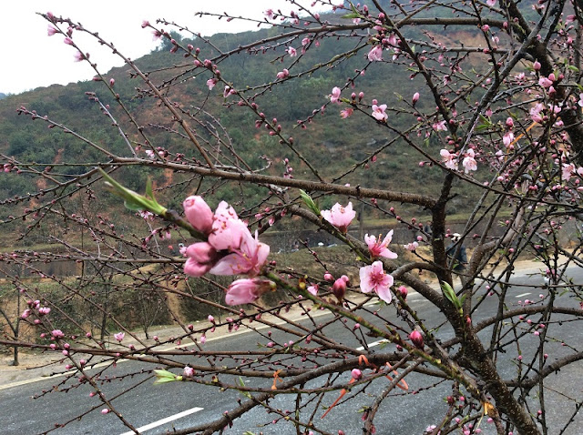 Peach blossoms bloom early in Hanoi flower village 4
