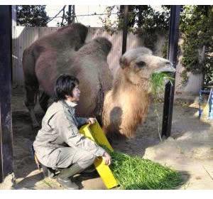 Muere Camello Mas Viejo del Mundo