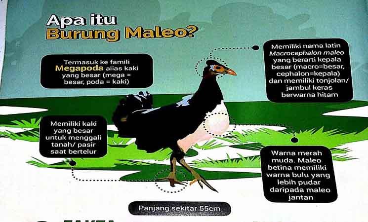 Burung Maleo, Hewan Endemik Indonesia Asal Sulawesi