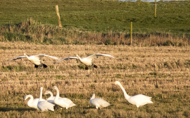 Whooper swans coming in for a landing at the Wexford Wildfowl Reserve