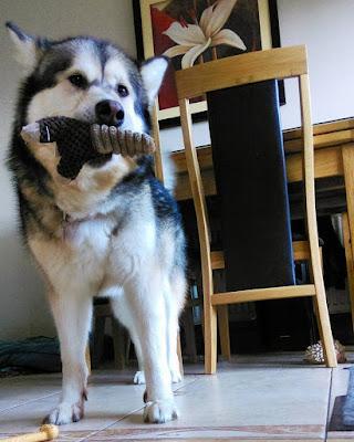 Malamute holding a toy