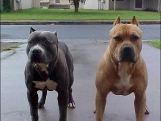 pitbull mata a un niño de 2 años