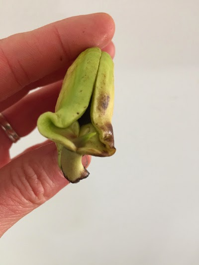 comment faire pousser une mangue chez soi