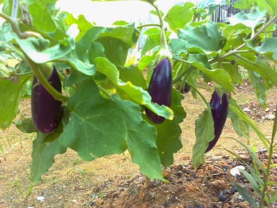Manfaat Terong ungu untuk kesehatan dan kecantikan