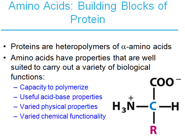 Amino acids,building blocks of protein