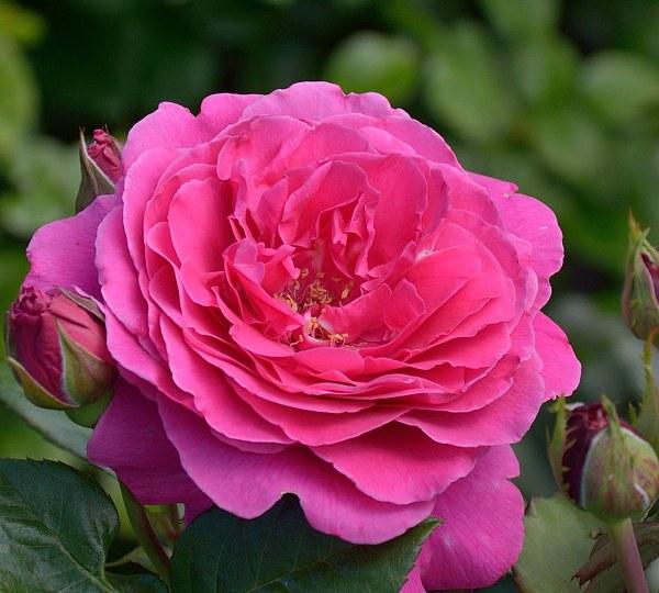 Naomi Renaissance сорт розы фото
