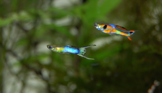 How to Breed Guppy Fish - RictasBlog