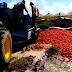 (video) CRISIS: PRODUCTORES TIRARON TONELADAS DE TOMATES PORQUE LES OFRECÍAN $1,50 EL KILO