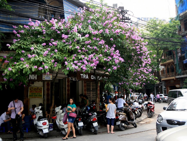 Purple Lagerstroemia flowers bloom to welcome summer season in Hanoi 4