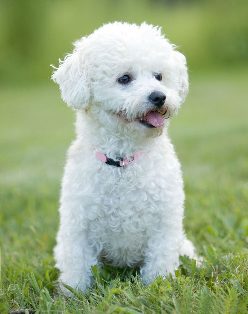 All Dog Breed Information: Bichon Frise