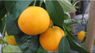 gambar buah jeruk keprok, jeruk mandarin
