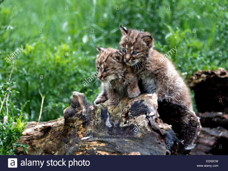 Bobcat kittens playing on an old log 4 near Sandstone Minnesota