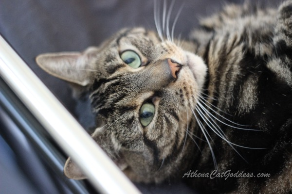 tabby cat gazing up at camera