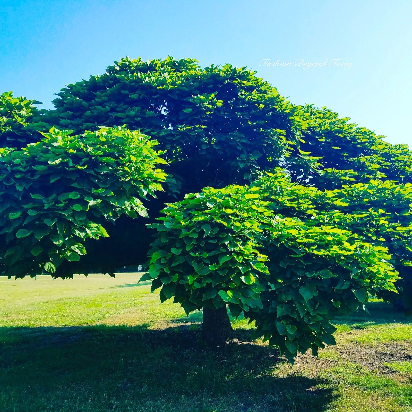Beautiful Tree on Golf Course