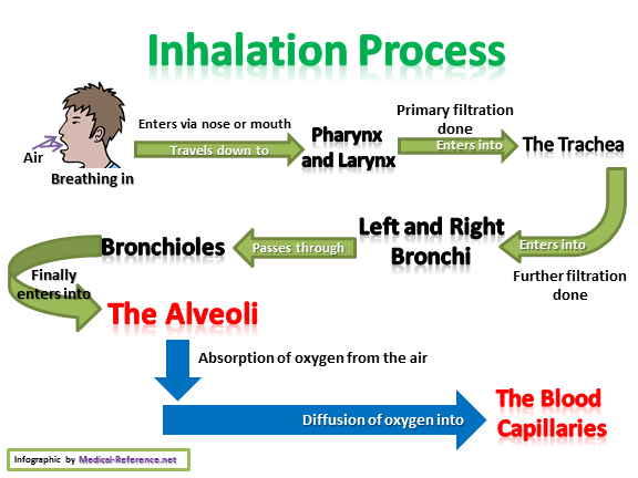 How the Inhalation is done through the Respiratory System?