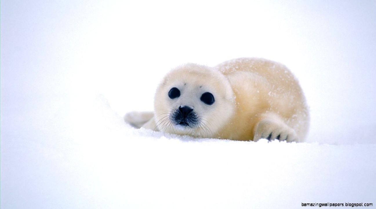 Cute Baby Seals 9361 Hd Wallpapers: Baby Seal Wallpaper 1366X768