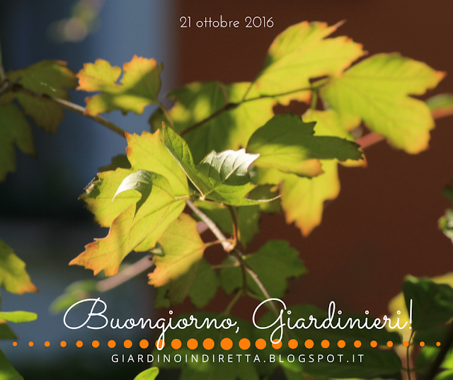 viburno palla di neve (viburnum opulus) - l'agenda del giardino e del giardiniere - un giardino in diretta