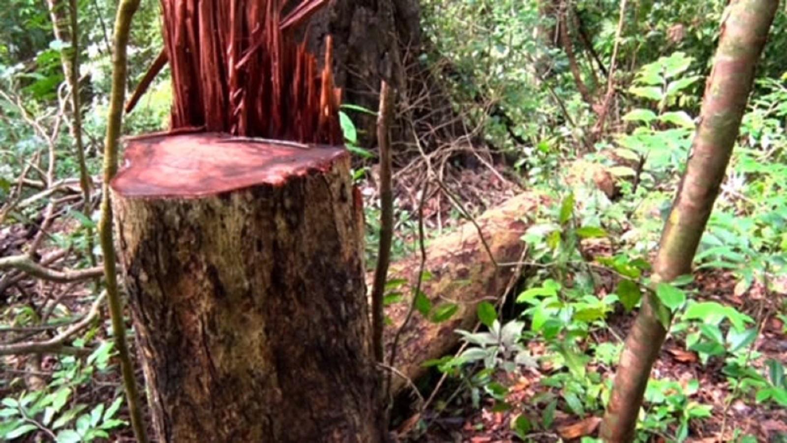Gia Lai: Gian nan cuộc chiến bảo vệ rừng hương trăm tuổi
