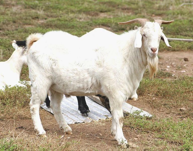 usaha ternak kambing, pakan fermentasi, ternak ruminansia