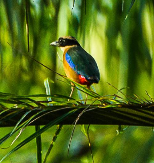 Indian birds - Image of Blue-winged pitta - P. moluccensis