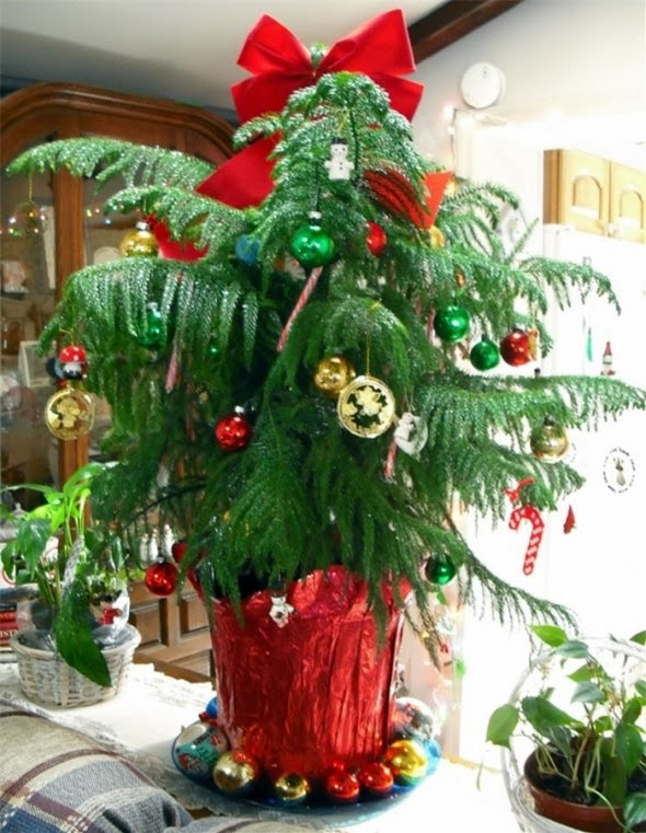 JeffCo Gardener: Norfolk Island Pine Care by Planttalk ...