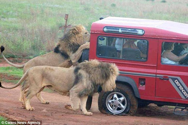 Napad lava na turiste: Užasnuti turisti gledaju kako lavovi trgaju gume vozila.