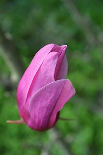 Magnolia púrpura. Flor tonos rosas, arbusto proterante.