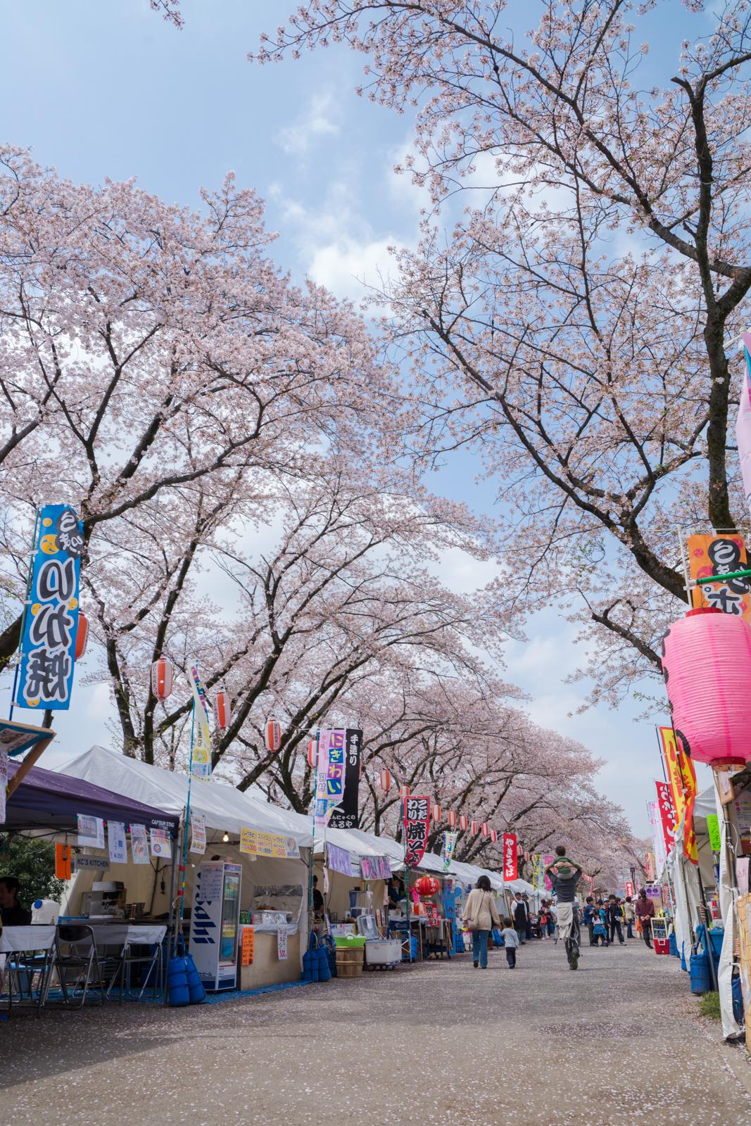 羽村の堰 桜まつりの写真
