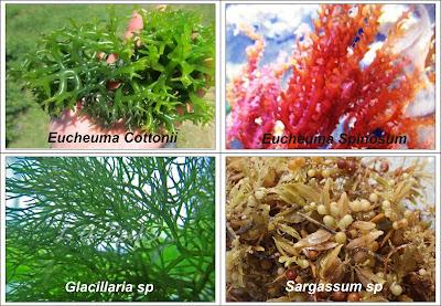 Mengenal Rumput Laut