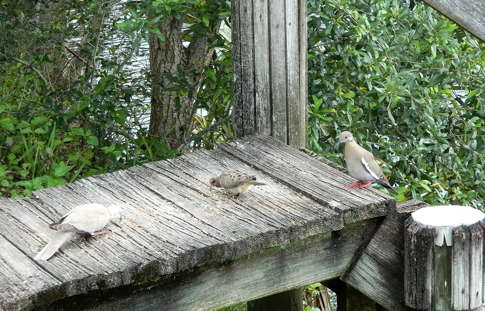 Lots Of Doves And Blue Jays Backyard World
