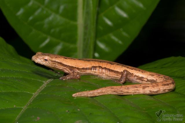 Bolitoglossa striatula - Striated Salamander