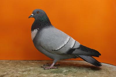Startaube-Etourneau-Starling