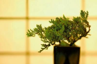 Derein Can A Bonsai Be Grown Under Led Lights
