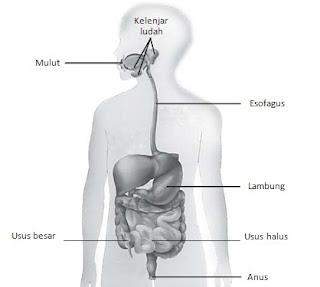 Organ Organ Pencernaan Pada Manusia