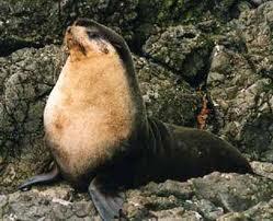 Lobo marino subantártico Arctocephalus tropicalis