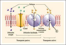 cuales son las proteinas transportadoras de oxigeno