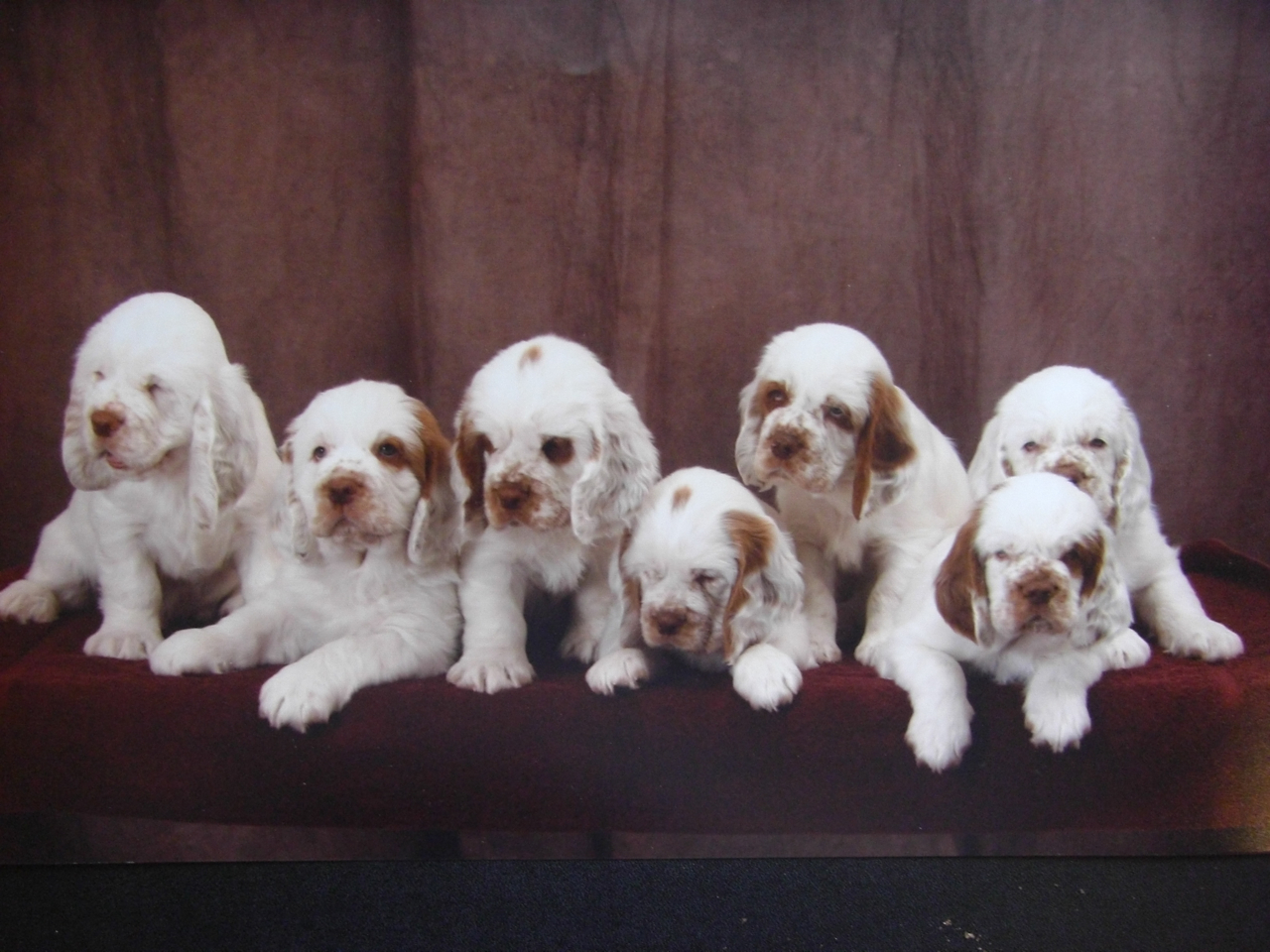 Clumber Spaniel Clumber Spaniel Breeders Profiles And Pictures Dog